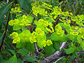 Euphorbia paniculata Habitus 2011-4-21 SierraMadrona.jpg