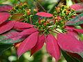 Euphorbia pulcherrima 2 by kadavoor.JPG