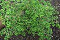 Euphorbia skottsbergii var. skottsbergii (4822721894).jpg