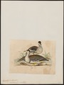 Eupodotis australis - 1820-1860 - Print - Iconographia Zoologica - Special Collections University of Amsterdam - UBA01 IZ17200041.tif