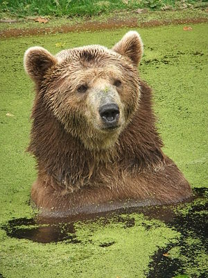 Eurasian brown bear - Eurasian brown bear relaxing in a pond