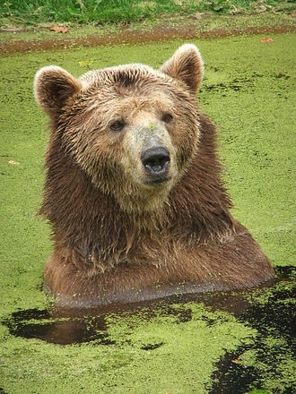 Eurasian brown bear - Eurasian brown bear relaxing in a pond