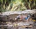 Eurasian Jay with walnut (37095873220).jpg