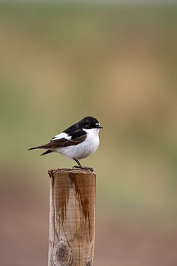 European pied flycatcher.jpg