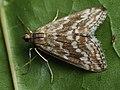 Evergestis frumentalis - Луговая огнёвка крестоцветная (39941202775).jpg