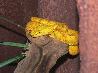 Bothriechis schlegelii - B. schlegelii at Melbourne Zoo