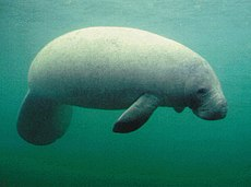 A manatee with a circular tail, floating in the water-column