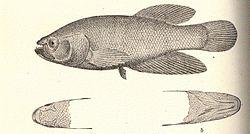 FMIB 52336 Cynolebias forosus, Type a, head from above; b, head from beneath.jpeg