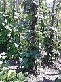 Fabales - Phaseolus vulgaris - 1.jpg