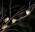Fairy Wrens (32056590521).jpg