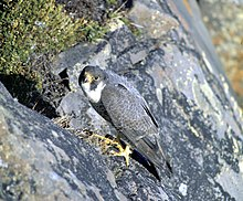 A black falcon with a white chin clings to the side of a black cliff.