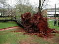 Fallen Oak (w Carmichael Library in background) (3387751900).jpg
