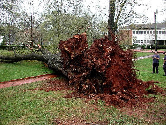 Fallen Oak Tree