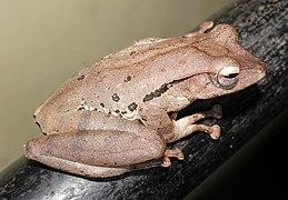 False hour-glass tree frog @ Kanjirappally 01.jpg