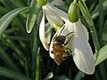 February Bee (6941397675).jpg