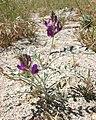 Federally endangered Coachella Valley milk-vetch flower (5985979310).jpg