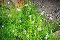 Felicia muricata in Botanischer Garten Muenster.jpg