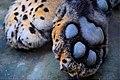 Felidae foot.jpg