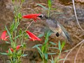 Female Hummingbird enjoying the Bearded Penstemon Upper Huachuca Canyon Sierra Vista AZ 2018-08-05 11-05-06 (43964286412).jpg