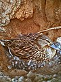 Female wild Mallard goes broody.jpg