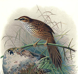 Old World warbler - New Zealand's Kōtātā or Mātātā, the fernbird, probably belongs to the Locustellidae