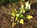Ficaria calthifolia sl36.jpg