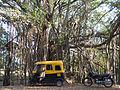 Ficus-benghalensis-banyan-banian.jpg