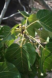 Ficus abutilifolius MS 10387