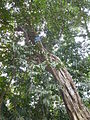 Ficus glaberrima 1.JPG