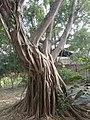 Ficus microcarpa - Habitus.jpg