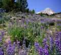 Field of Lupine at Gnarl Ridge-Mt Hood (23428963506).png