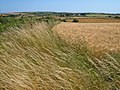 Field of barley at Green Lane End - geograph.org.uk - 207608.jpg