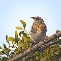 Fieldfare by a mistletoe (31386305001).jpg