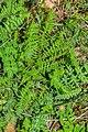 Filipendula vulgaris in Causse Comtal (2).jpg