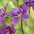 Fireweed (15077899532).jpg