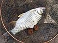 Fish 魚 - panoramio.jpg