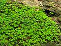 Fissidens subbasilaris - Flickr - pellaea (2).jpg