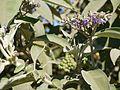Flannel Weed (6364976303).jpg