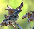 Flickr - Dario Sanches - TICO-TICO Imaturo (Zonotrichia capensis ).jpg