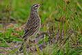 Flickr - Rainbirder - Malindi Pipit (Anthus melindae) (1).jpg