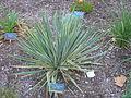 Flickr - brewbooks - Yucca filamentosa.jpg
