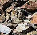 Flickr - brewbooks - unidentified Allium on Iron Peak.jpg