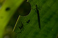 Flickr - ggallice - Leaf cutter ants.jpg