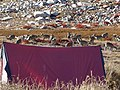 Flock of Blue Sheep WTK20150921-DSC00168.jpg