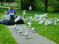 Flock of Ring-billed gulls, May 2018.DSCN0111 02.jpg