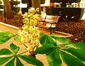 Flor castaño.jpg