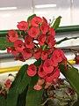 Flor de coroa-de-cristo (Luca).jpg