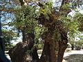 Flora of Tanzania 2459 Nevit.jpg