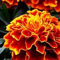 Flower at it's blast.jpg