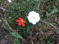 Flower in Terai Nepal.jpg